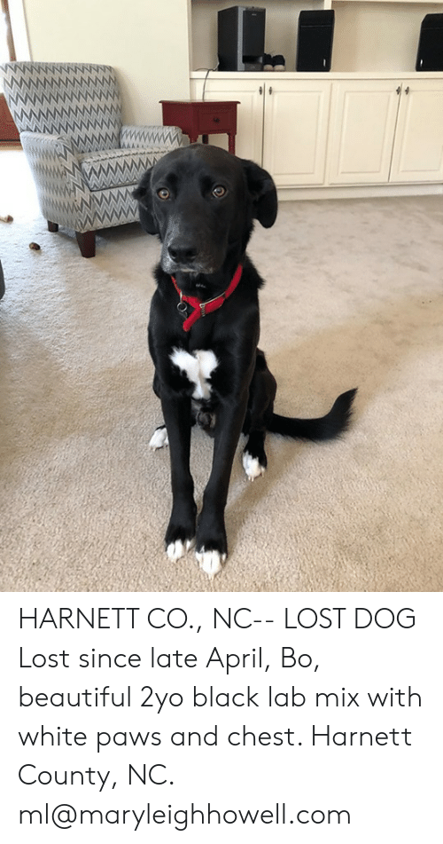 Beautiful, Memes, and Lost: HARNETT CO., NC-- LOST DOG  Lost since late April, Bo, beautiful 2yo black lab mix with white paws and chest. Harnett County, NC. ml@maryleighhowell.com
