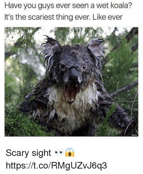 Koala, Wet, and Thing: Have you guys ever seen a wet koala?  It's the scariest thing ever. Like ever  imur Scary sight 👀😱 https://t.co/RMgUZvJ6q3