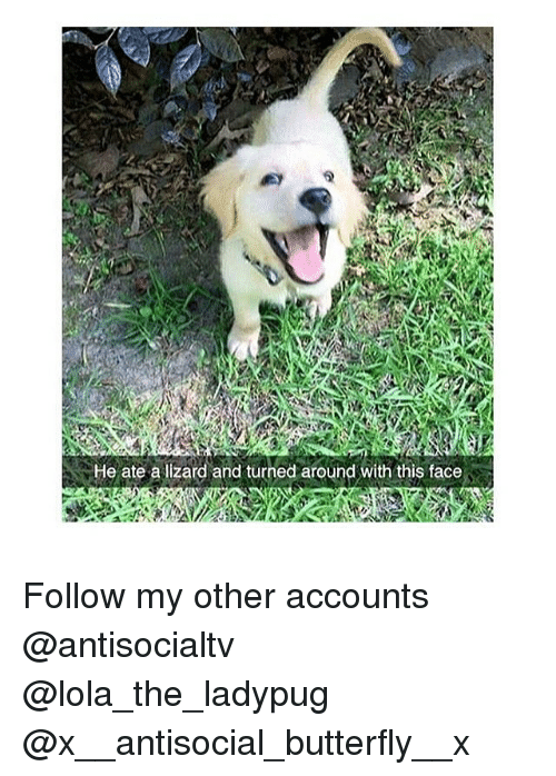 lolas: He ate a lizard and turned around with this face Follow my other accounts @antisocialtv @lola_the_ladypug @x__antisocial_butterfly__x
