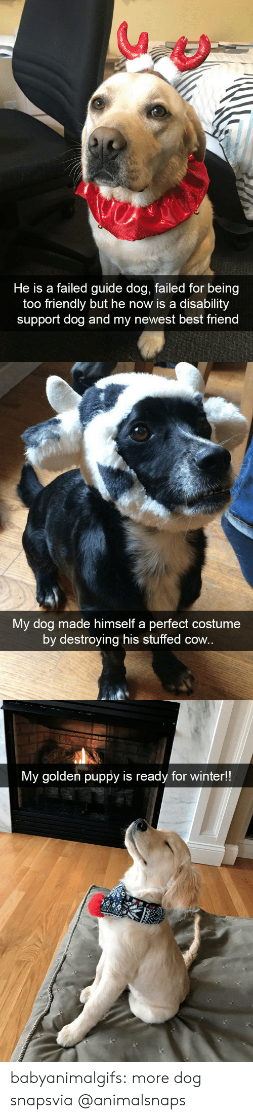stuffed: He is a failed guide dog, failed for being  too friendly but he now is a disability  support dog and my newest best friend   My dog made himself a perfect costume  by destroying his stuffed cow.   My golden puppy is ready for winter!! babyanimalgifs:  more dog snapsvia @animalsnaps​