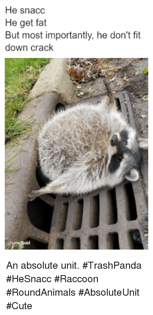 Cute, Raccoon, and Fat: He snacc  He get fat  But most importantly, he don't fit  down crack  กา  ad An absolute unit. #TrashPanda #HeSnacc #Raccoon #RoundAnimals #AbsoluteUnit #Cute