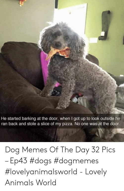 Animals, Dogs, and Memes: He started barking at the door, when I got up to look outside he  ran back and stole a slice of my pizza. No one was at the door Dog Memes Of The Day 32 Pics – Ep43 #dogs #dogmemes #lovelyanimalsworld - Lovely Animals World