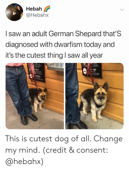 german shepard: Hebah  @Hebah>x  I saw an adult German Shepard that'S  diagnosed with dwarfism today and  it's the cutest thing I saw all year  ING This is cutest dog of all. Change my mind. (credit & consent: @hebahx)