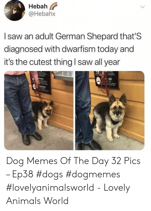 german shepard: Hebah  @Hebahx  I saw an adult German Shepard that'S  diagnosed with dwarfism today and  it's the cutest thing l saw all year  ING Dog Memes Of The Day 32 Pics – Ep38 #dogs #dogmemes #lovelyanimalsworld - Lovely Animals World
