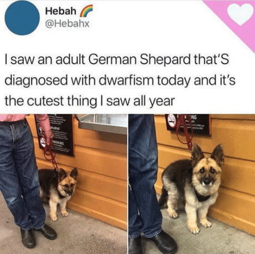 Saw, Today, and German: Hebah  @Hebahx  Isaw an adult German Shepard that'S  diagnosed with dwarfism today and it's  the cutest thing l saw all year  NG  wOUNG
