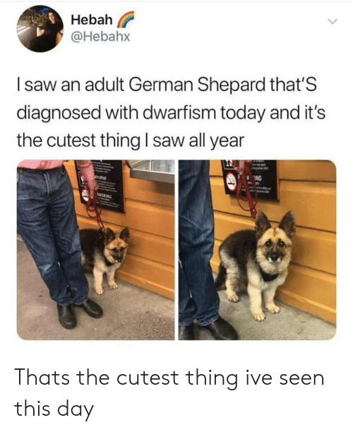 german shepard: Hebah  @Hebahx  Isaw an adult German Shepard that'S  diagnosed with dwarfism today and it's  the cutest thing I saw all year  ING  MONING Thats the cutest thing ive seen this day