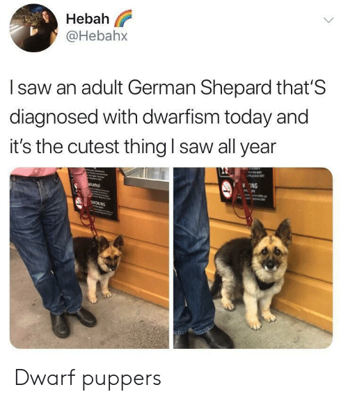 german shepard: Hebah  @Hebahx  l saw an adult German Shepard that'S  diagnosed with dwarfism today and  it's the cutest thing I saw all year  ING Dwarf puppers