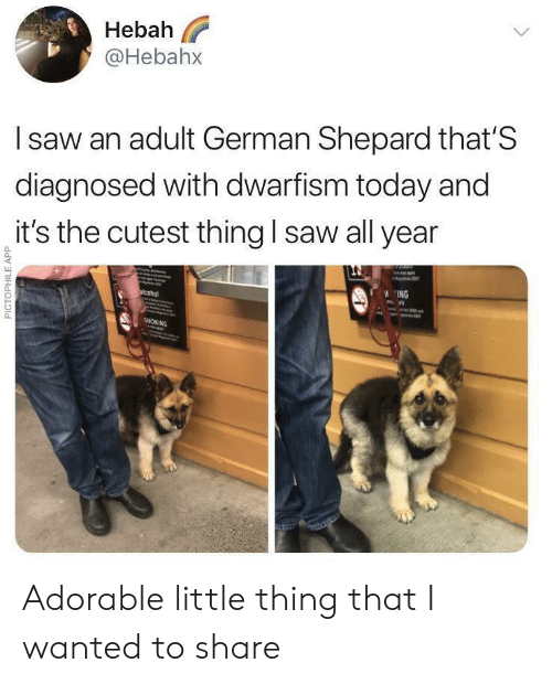 german shepard: Hebah  @Hebahx  l saw an adult German Shepard that'S  diagnosed with dwarfism today and  it's the cutest thing I saw all year  0  0  ING Adorable little thing that I wanted to share