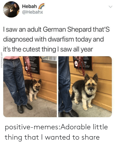 Memes, Saw, and Target: Hebah  @Hebahx  l saw an adult German Shepard that'S  diagnosed with dwarfism today and  it's the cutest thing I saw all year  0  0  ING positive-memes:Adorable little thing that I wanted to share