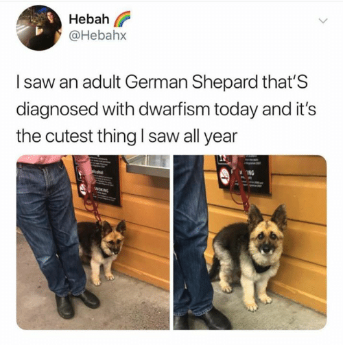 german shepard: Hebah l?  @Hebahx  I saw an adult German Shepard that'S  diagnosed with dwarfism today and it's  the cutest thing I saw all year  ING