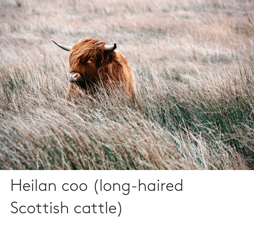 coo: Heilan coo (long-haired Scottish cattle)