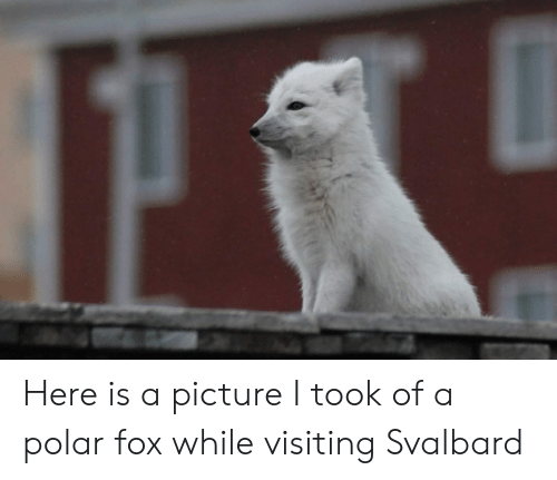 svalbard: Here is a picture I took of a polar fox while visiting Svalbard