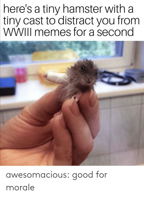tiny: here's a tiny hamster with a  tiny cast to distract you from  WWIII memes for a second awesomacious:  good for morale