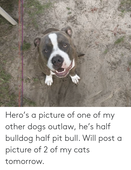 pit bull: Hero's a picture of one of my other dogs outlaw, he's half bulldog half pit bull. Will post a picture of 2 of my cats tomorrow.