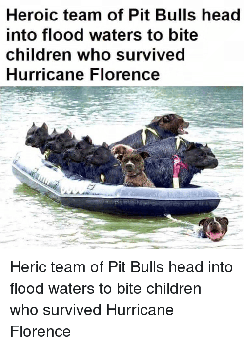 pit bulls: Heroic team of Pit Bulls head  into flood waters to bite  children who survived  Hurricane Florence Heric team of Pit Bulls head into flood waters to bite children who survived Hurricane Florence
