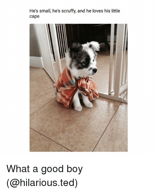 Caping: He's small, he's scruffy, and he loves his little  cape  He's small, he's scruffy, and he loves his litte What a good boy (@hilarious.ted)