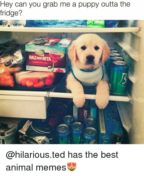 the best animation: Hey can you grab me a puppy outta the  fridge?  RAZBERRITA @hilarious.ted has the best animal memes😻