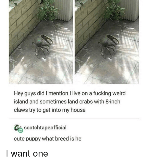 fucking weird: Hey guys did I mention I live on a fucking weird  island and sometimes land crabs with 8-inch  claws try to get into my house  CAscotchtapeofficial  cute puppy what breed is he I want one