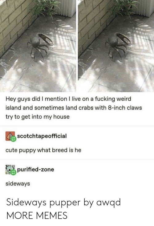 fucking weird: Hey guys did I mention I live on a fucking weird  island and sometimes land crabs with 8-inch claws  try to get into my house  scotchtapeofficial  cute puppy what breed is he  purified-zone  sideways Sideways pupper by awqd MORE MEMES