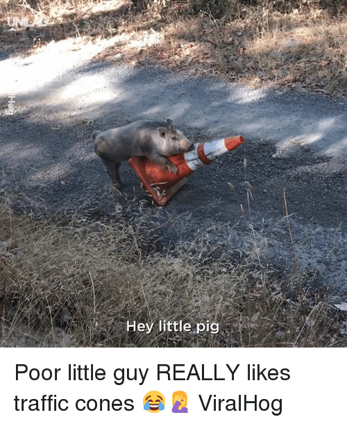 Dank, Traffic, and 🤖: Hey little pig Poor little guy REALLY likes traffic cones 😂🤦  ViralHog