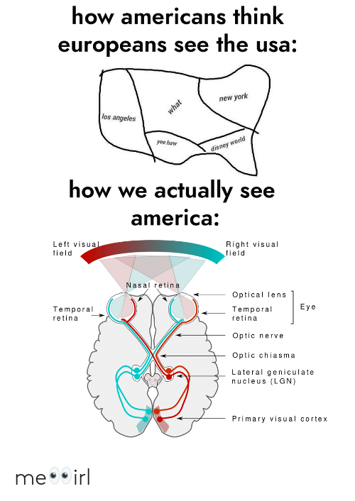 lateral: how americans think  europeans see the usa:  new york  los angeles  rld  yee haw  disney wo  how we actually see  america  Left visua  field  Right visual  field  Nasal retina  Optical lens  Temporal  Eye  Temporal  retina  retina  Optic nerve  Optic chiasma  Lateral geniculate  nucleus (LGN)  Primary visual cortex me👀irl