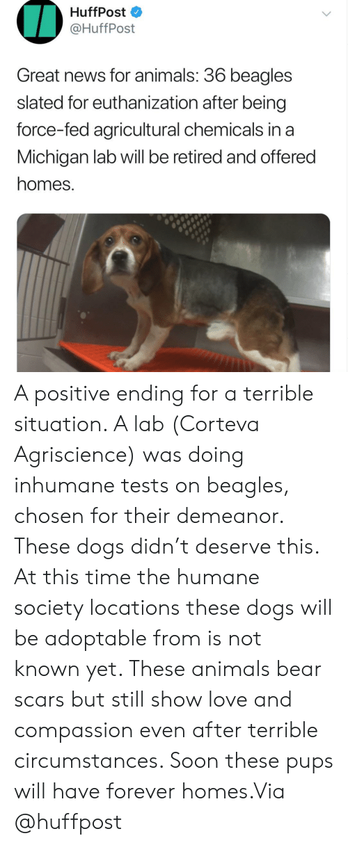 Michigan: HuffPost  @HuffPost  Great news for animals: 36 beagles  slated for euthanization after being  force-fed agricultural chemicals in a  Michigan lab will be retired and offered  homes. A positive ending for a terrible situation. A lab (Corteva Agriscience) was doing inhumane tests on beagles, chosen for their demeanor. These dogs didn't deserve this. At this time the humane society locations these dogs will be adoptable from is not known yet. These animals bear scars but still show love and compassion even after terrible circumstances. Soon these pups will have forever homes.Via @huffpost