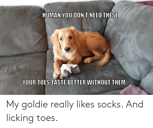 Socks: HUMAN YOU DON'T NEED THESE  YOUR TOES TASTE BETTER WITHOUT THEM My goldie really likes socks. And licking toes.