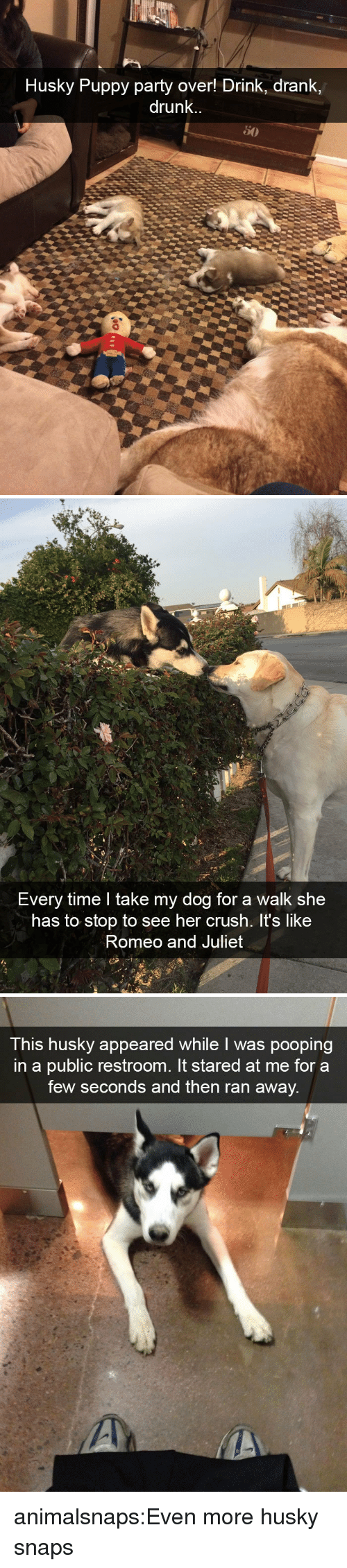 juliet: Husky Puppy party over! Drink, drank,  drunk.   Every time I take my dog for a walk she  has to stop to see her crush. It's like  Romeo and Juliet   This husky appeared while I was pooping  in a public restroom. It stared at me for a  few seconds and then ran away. animalsnaps:Even more husky snaps