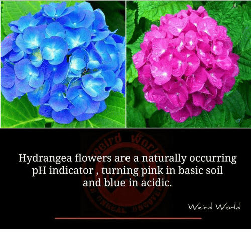 pinkly: Hydrangea flowers are a naturally occurring  pH indicator, turning pink in basic soil  and blue in acidic.  Weird World