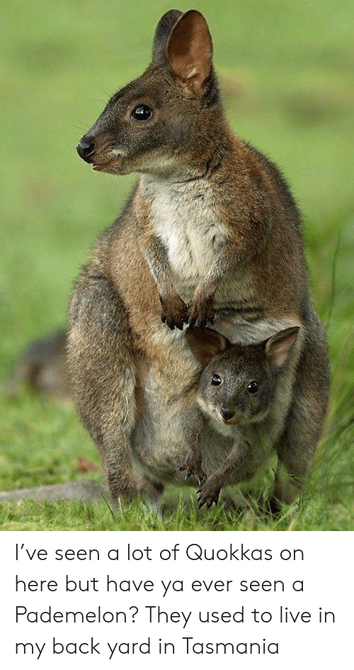 Live, Back, and Tasmania: I've seen a lot of Quokkas on here but have ya ever seen a Pademelon? They used to live in my back yard in Tasmania