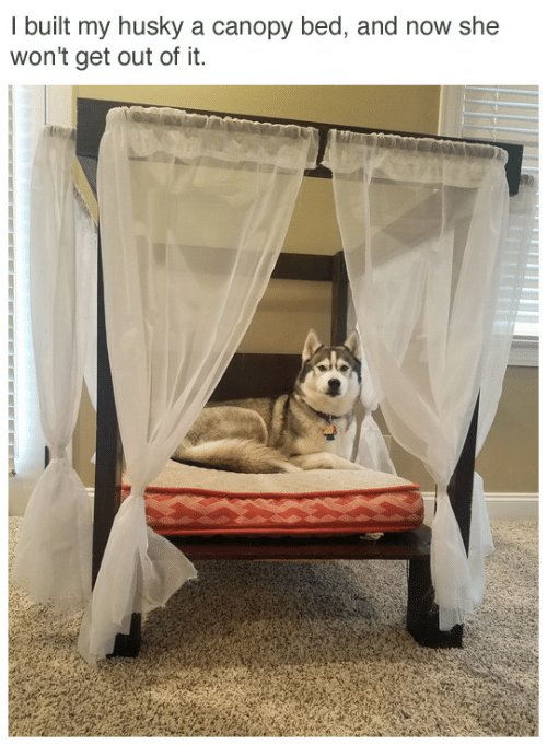 Husky, She, and Now: I built my husky a canopy bed, and now she  won't get out of it.