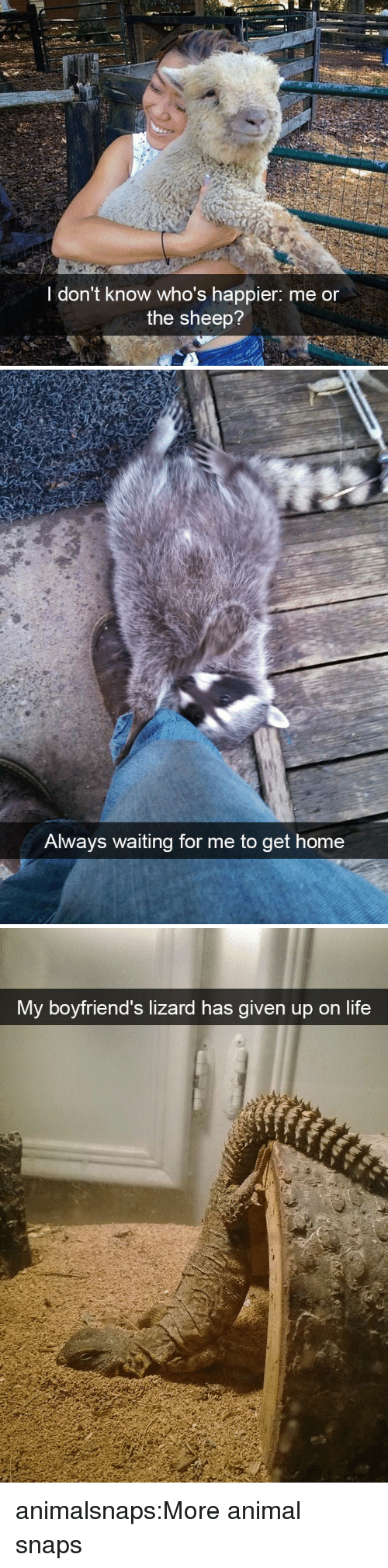 Always Waiting: I don't know who's happier: me or  the sheep?   Always waiting for me to get  home   My boyfriend's lizard has given up on life animalsnaps:More animal snaps