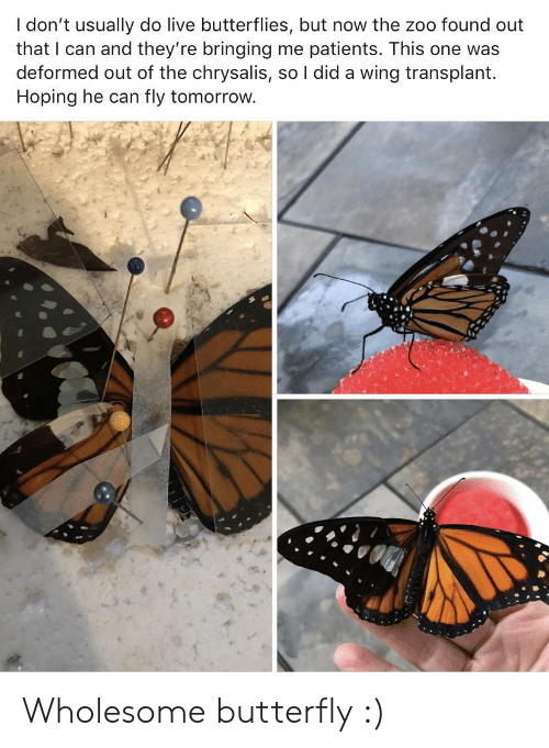 hoping: I don't usually do live butterflies, but now the zoo found out  that I can and they're bringing me patients. This one was  deformed out of the chrysalis, so I did a wing transplant  Hoping he can  fly tomorrow. Wholesome butterfly :)