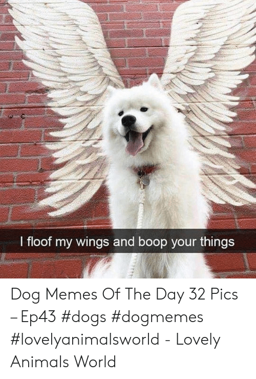 Animals, Dogs, and Memes: I floof my wings and boop your things Dog Memes Of The Day 32 Pics – Ep43 #dogs #dogmemes #lovelyanimalsworld - Lovely Animals World
