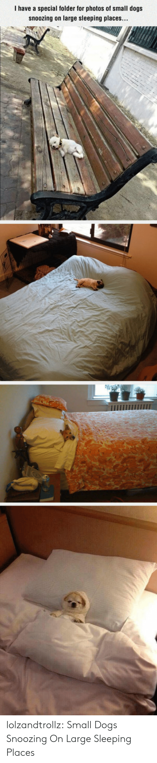 Dogs, Tumblr, and Blog: I have a special folder for photos of small dogs  snoozing on large sleeping places... lolzandtrollz:  Small Dogs Snoozing On Large Sleeping Places