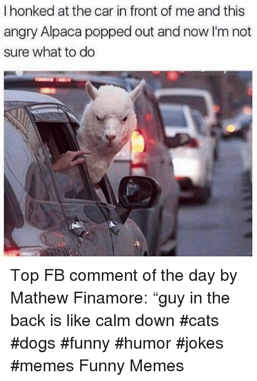 """Cats, Dogs, and Funny: I honked at the car in front of me and this  angry Alpaca popped out and now I'm not  sure what to do Top FB comment of the day by Mathew Finamore: """"guy in the back is like calm down #cats #dogs #funny #humor #jokes #memes Funny Memes"""