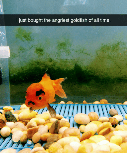 Goldfish, Time, and All: I just bought the angriest goldfish of all time
