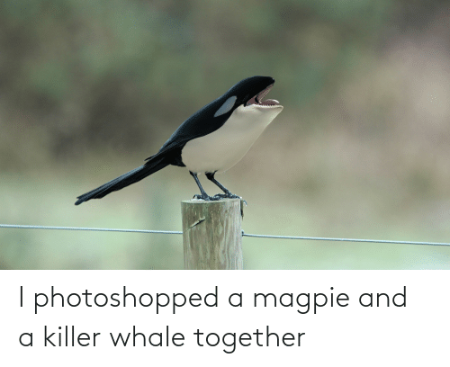 Whale, Killer Whale, and Magpie: I photoshopped a magpie and a killer whale together