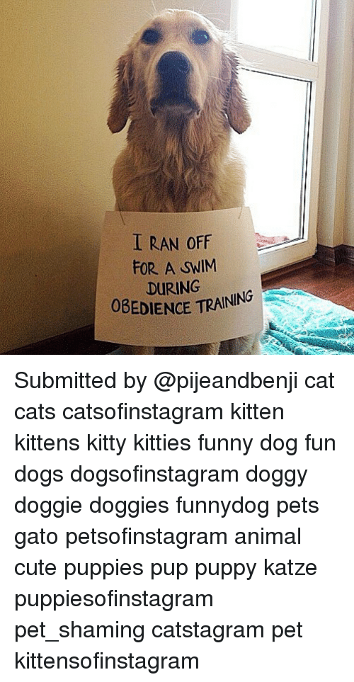 Cats, Cute, and Dogs: I RAN OFF  FOR. A SWIM  DURING  EDIENCE TRAINING  OBEDIENCE Submitted by @pijeandbenji cat cats catsofinstagram kitten kittens kitty kitties funny dog fun dogs dogsofinstagram doggy doggie doggies funnydog pets gato petsofinstagram animal cute puppies pup puppy katze puppiesofinstagram pet_shaming catstagram pet kittensofinstagram