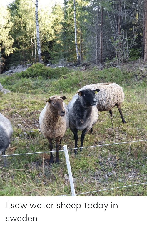 Saw, Sweden, and Today: I saw water sheep today in sweden