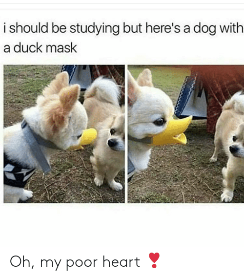 Duck, Heart, and Mask: i should be studying but here's a dog with  a duck mask Oh, my poor heart ❣