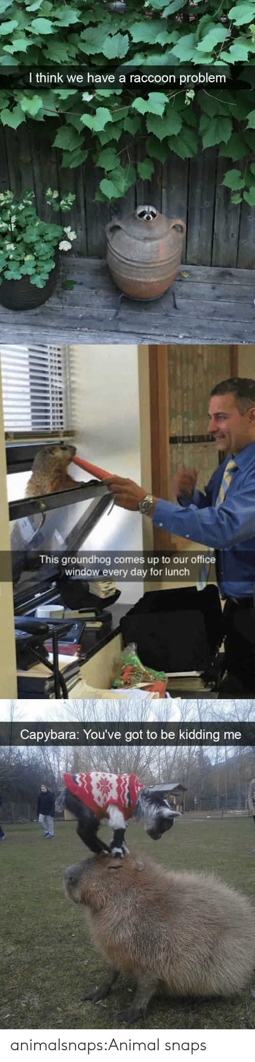 Youve Got To Be Kidding Me: I think we have a raccoon problem   This groundhog comes up to our office  window every day for lunch   Capybara: You've got to be kidding me animalsnaps:Animal snaps