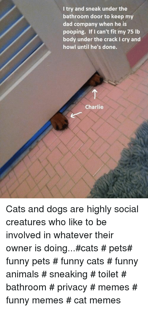Animals, Cats, and Charlie: I try and sneak under the  bathroom door to keep my  dad company when he is  pooping. If I can't fit my 75 lb  body under the crack I cry and  howl until he's done.  Charlie Cats and dogs are highly social creatures who like to be involved in whatever their owner is doing...#cats # pets# funny pets # funny cats # funny animals # sneaking # toilet # bathroom # privacy # memes # funny memes # cat memes