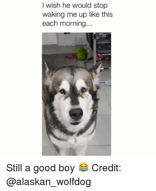 Memes, Good, and Boy: I wish he would stop  waking me up like this  each morning... Still a good boy 😂 Credit: @alaskan_wolfdog