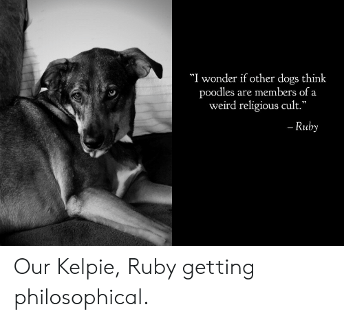 """Philosophical: """"I wonder if other dogs think  poodles are members of a  weird religious cult.""""  - Ruby Our Kelpie, Ruby getting philosophical."""