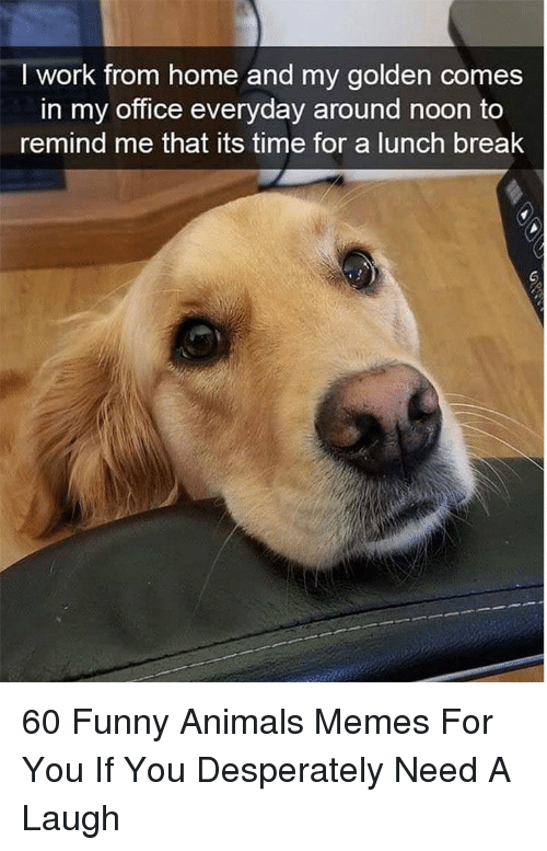 Animals, Funny, and Funny Animals: I work from home and my golden comes  in my office everyday around noon to  remind me that its time for a lunch break 60 Funny Animals Memes For You If You Desperately Need A Laugh
