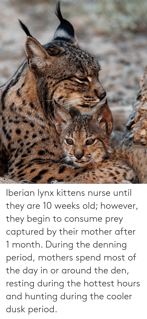 Resting: Iberian lynx kittens nurse until they are 10 weeks old; however, they begin to consume prey captured by their mother after 1 month. During the denning period, mothers spend most of the day in or around the den, resting during the hottest hours and hunting during the cooler dusk period.