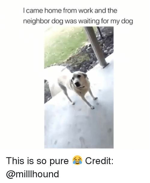 Memes, Work, and Home: Icame home from work and the  neighbor dog was waiting for my dog This is so pure 😂 Credit: @milllhound