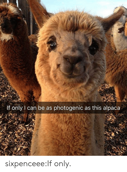 Tumblr, Blog, and Http: If only I can be as photogenic as this alpaca sixpenceee:If only.