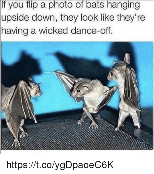 Memes, Wicked, and Dance: If you flip a photo of bats hanging  upside down, they look like they're  having a wicked dance-off.  0 https://t.co/ygDpaoeC6K